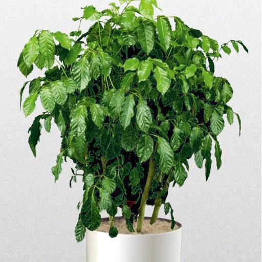 Dinner Plate Arelia. Aralia Rose Leaf & Fancy Plants - Interior Plant Varieties